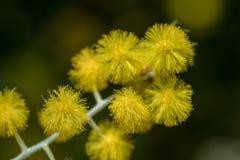 金合欢podalyriifolia有黄色花,精美芬芳 入灌木圆的花束  免版税图库摄影