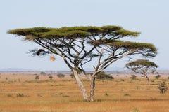 金合欢serengeti 免版税图库摄影