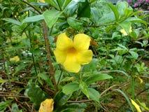 金喇叭或黄蔓cathartica 免版税库存照片