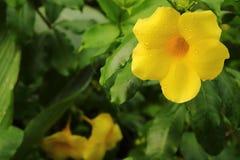 金喇叭是黄色花 免版税库存照片