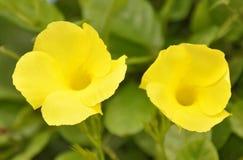 金喇叭,黄蔓 免版税库存图片