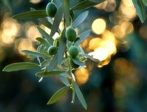 金地中海橄榄 免版税库存照片