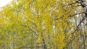 金子反对蓝色清楚的天空的秋天桦树在城市公园 股票视频