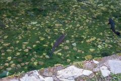 金子和普通的鳟鱼在山小河04 免版税库存照片