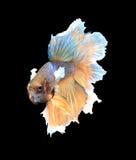 金子和蓝色暹罗战斗钓鱼,在blac隔绝的betta鱼 图库摄影
