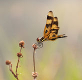 万圣夜在干野花栖息的信号旗蜻蜓 免版税库存照片