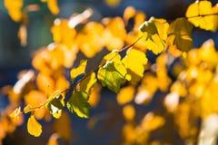 金子和绿色秋叶 库存图片