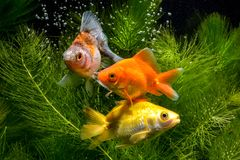 金子在绿色水厂背景隔绝的koi鱼 免版税库存图片