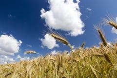 金子横向夏天晴朗的麦子 免版税库存图片