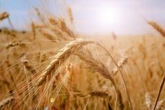金子横向夏天晴朗的麦子 库存照片