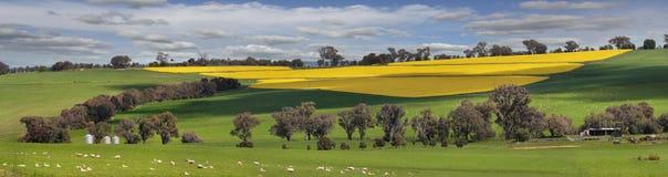 金子的绿色牧场地和领域 免版税库存照片