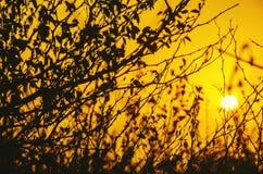 金子花卉在日出 库存图片