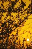金子花卉在日出 图库摄影