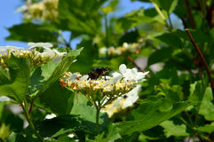 金子& x28; 或者Golden& x29;bronzova & x28; Cetonia aurata& x29;在荚莲属的植物花  免版税库存照片