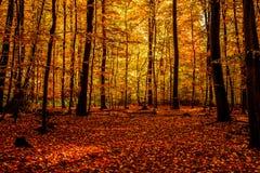 金子10月光在森林里 免版税库存图片