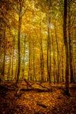 金子10月光在森林里 库存图片