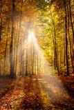 金子10月光在森林里 库存照片