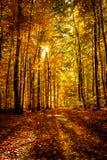 金子10月光在森林里 免版税库存照片