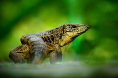 金子tegu, Tupinambis teguixin,大爬行动物在自然栖所,绿色异乎寻常的热带动物在绿色森林里,特立尼达和 免版税库存图片