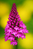 金字塔形兰花, Anacamptis pyramidalis,开花的欧洲地球野生兰花,自然栖所,绽放,黄色后面细节  库存照片