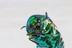 金属木乏味甲虫 库存照片
