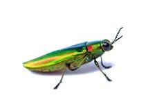 金属木头乏味甲虫 免版税库存照片