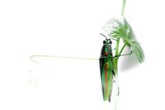 金属木头乏味甲虫 免版税库存图片