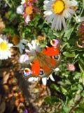 金属渣蝴蝶在crusantemums庭院里  库存图片