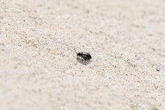 金属紫色和绿色蚤甲虫Altica sp 爬行在砂岩 免版税图库摄影