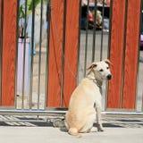 金属链子附加的一条幼小狗 免版税图库摄影