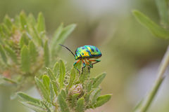 金属绿色甲虫 库存照片