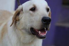 金拉布拉多猎犬近景  免版税库存照片