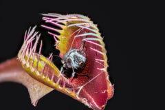 金星飞行陷井与被夺取的被消化的飞行的Dionaea muscipula 图库摄影