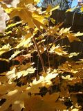 金有阳光的枫叶 免版税库存照片