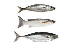 金枪鱼、灰鲻鱼或者扁平头的梭鱼,鱼雷大量(Fi 免版税库存照片