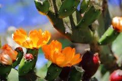 金枪鱼和仙人掌在春天红色果子和黄色花开花了 库存照片