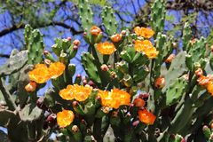 金枪鱼和仙人掌在春天红色果子和黄色花开花了 图库摄影