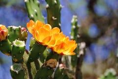 金枪鱼和仙人掌在春天红色果子和黄色花开花了 免版税库存照片