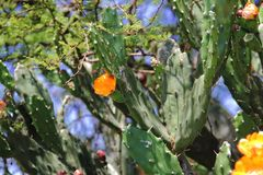 金枪鱼和仙人掌在春天红色果子和黄色花开花了 免版税库存图片