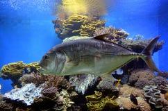 金枪鱼在珊瑚世界水下的观测所水族馆游泳  免版税图库摄影