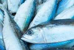 金枪鱼,东部小的金枪鱼, Thunnini, Longtail金枪鱼 免版税库存照片