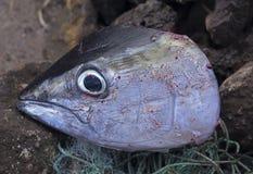 金枪鱼,金枪鱼头新鲜的抓住在切开以后 免版税库存照片