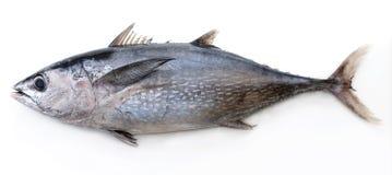 金枪鱼 免版税库存图片