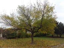 金树在公园 库存照片