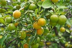 金桔,柑橘植物 免版税库存图片