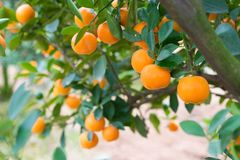 金桔,越南月球新年的标志 在几乎每个家庭, Tet的关键的购买包括桃子和kumqu 库存照片