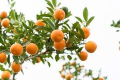 金桔,越南月球新年的标志 在几乎每个家庭, Tet的关键的购买包括桃子和kumqu 库存图片