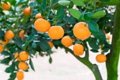 金桔,越南月球新年的标志 在几乎每个家庭, Tet的关键的购买包括桃子和kumqu 免版税库存图片