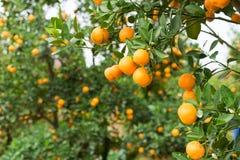 金桔,越南月球新年的标志 在几乎每个家庭, Tet的关键的购买包括桃子和kumqu 图库摄影