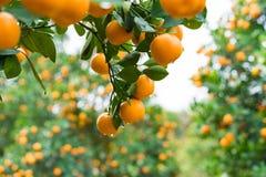 金桔,越南月球新年的标志 在几乎每个家庭, Tet的关键的购买包括桃子和kumqu 免版税库存照片